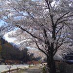 河原に桜並木